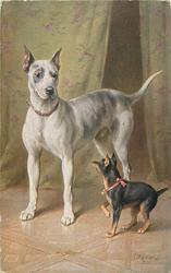 white great dane to left,