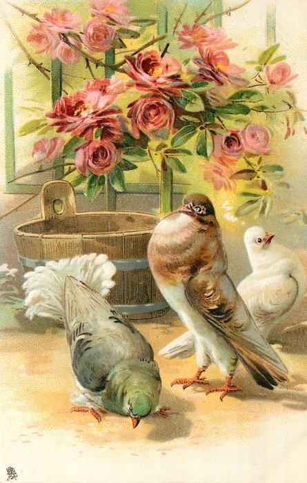 three pigeons on ground, brown/white pouter displays to grey/green bird before him, white bird looks right, tub behind, roses above