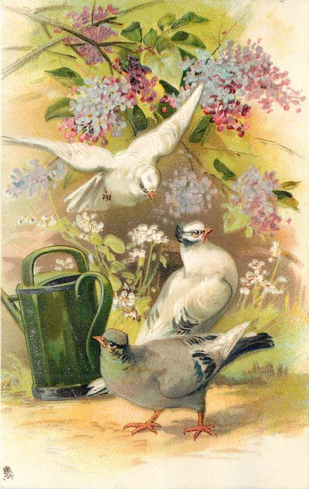 three pigeons, white bird flying, white & grey birds on ground to right of watering can