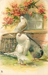 three pigeons, white pouter displays to grey female, white bird on window sill, above basket