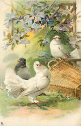 three pigeons, white pouter displays to white female sitting on basket, grey bird behind looking left