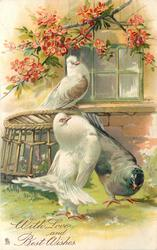three pigeons, white pouter displays to grey bird before basket, white bird on window-sill