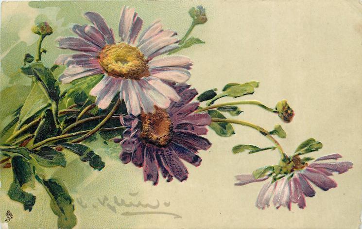 purple daisies, yellow centres