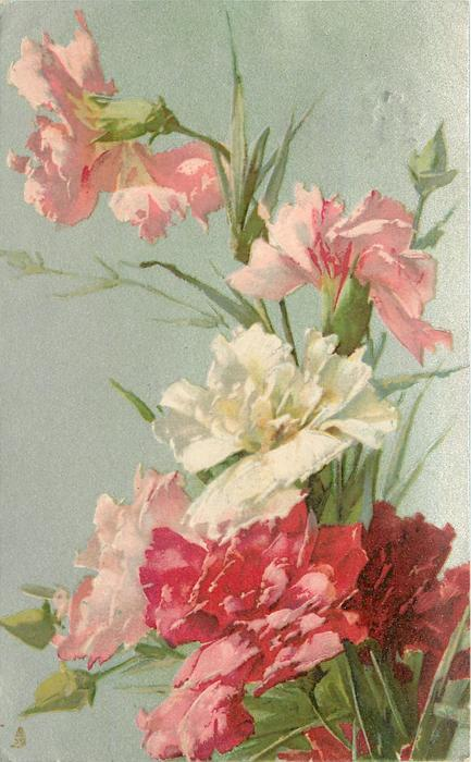 many carnations ranging in colour from white to deep pink
