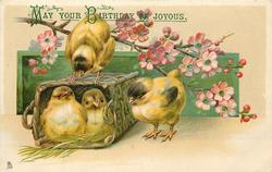 four yellow chicks, two in basket, one perched on the basket, another to the right