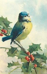 one bluetit on holly branch
