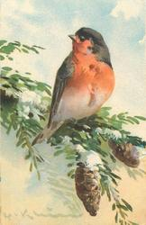 one red breasted robin on pine branch with two cones below