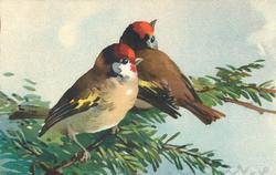 two red headed chaffinches on pine branch