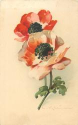 red & red/white poppies