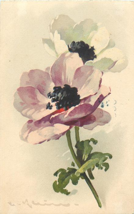 Purple White Flowers With Black Centre Tuckdb Postcards
