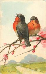 two red breasted robins