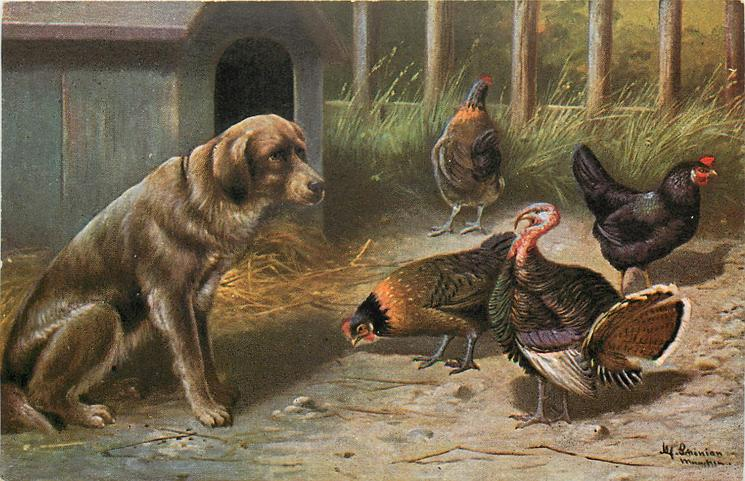 large brown dog on a farm with three chickens & a turkey
