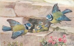 two blue-tits feed their five nestlings, nest in a wall