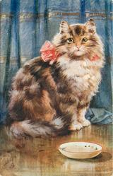 tabby cat sitting with red bow on back in front of blue curtain, saucer front