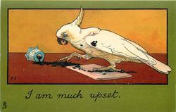 I AM MUCH UPSET  white cockatoo