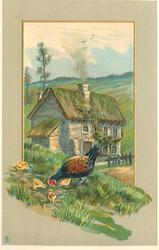 hen and chicks in front of farmhouse