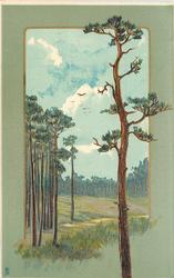 tall pine tree to right, pine woods to left, blue sky with very distant birds