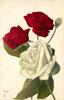 one single white rose & bud, two red roses above