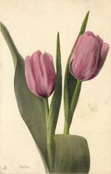 TULIPS  two cerise tulips