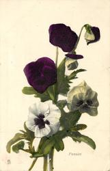 PANSIES  purple and white, three stalks