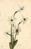 JONQUILS  five flowers
