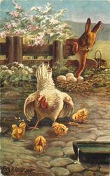 rabbit steals eggs, hen minds four chicks