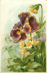 purple pansy flecked with yellow central, yellow primroses right & below