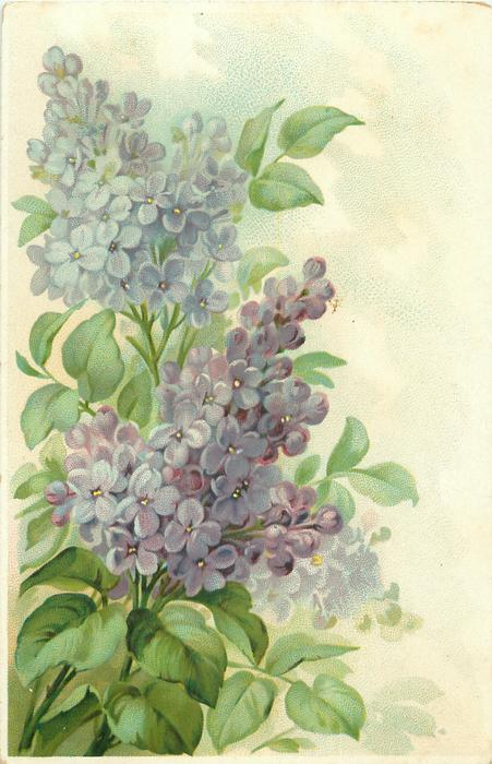 purple/blue lilac flowers in two distinct sprays, stems to left