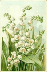 lilies-of-the-valley