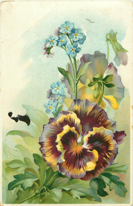 one large open pansy center right, one pansy open above facing away, forget-me-not spike behind