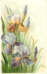 multicoloured iris to left, many leaves