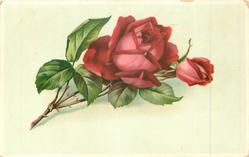 single red rose, stem to left
