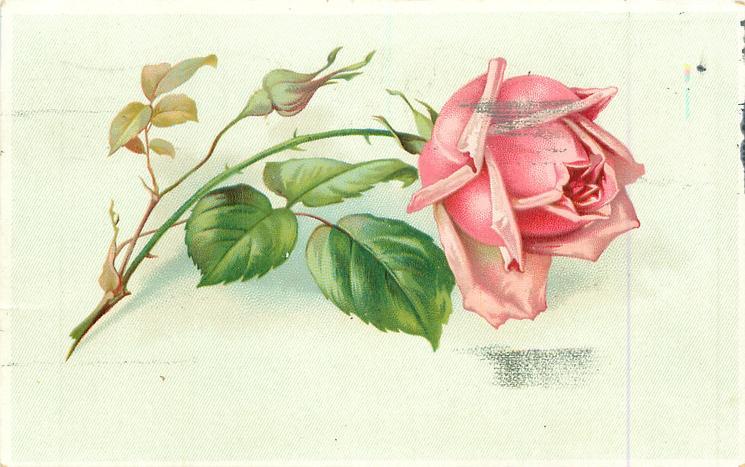 single pink rose stem to left - TuckDB Postcards  single pink ros...