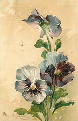 blue/white and purple pansies, two face forward, one semi-opened above facing away