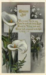 EASTER JOY  calla lilies