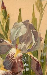 single purple iris bloom towards base of card, bud to left, leaves behind