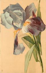 single purple iris bloom towards top of card facing left, single stalk to bottom right, few leaves