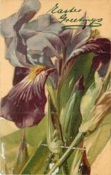 single purple iris bloom towards top of card, 2 crossed stalks, 2 buds & leaves