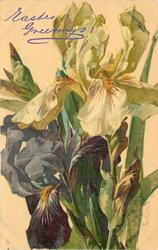three iris in bloom, two white above and one purple below