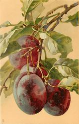 four purple plums