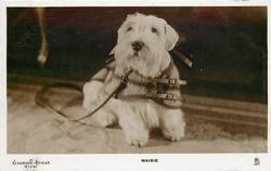 MAISIE  white small dog with leash
