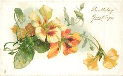 BIRTHDAY GREETINGS  yellow & orange nasturtiums