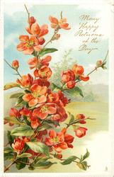 MANY HAPPY RETURNS OF THE DAY  red  thorny japonica