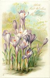WITH BEST WISHES FOR YOUR BIRTHDAY  purple crocus