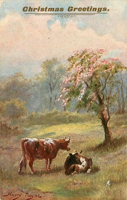 IN THE SWEET MEADOWS  cow stands by another lying down, blossom tree right