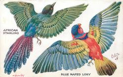 AFRICAN STARLING, BLUE NAPED LORY
