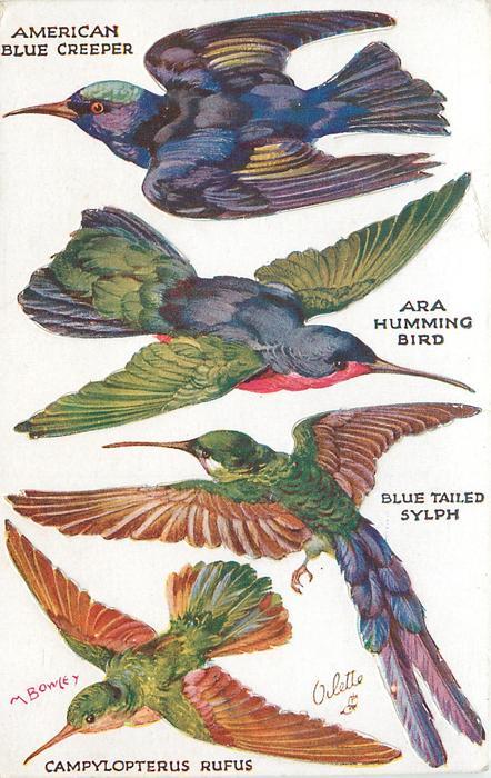 AMERICAN BLUE CREEPER, ARA HUMMING BIRD, BLUE TAILED SYLPH, CAMPYLOPTERUS RUFUS