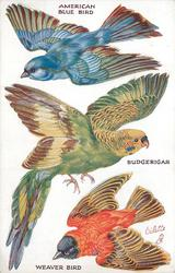 AMERICAN BLUE BIRD, BUDGERIGAR, WEAVER BIRD