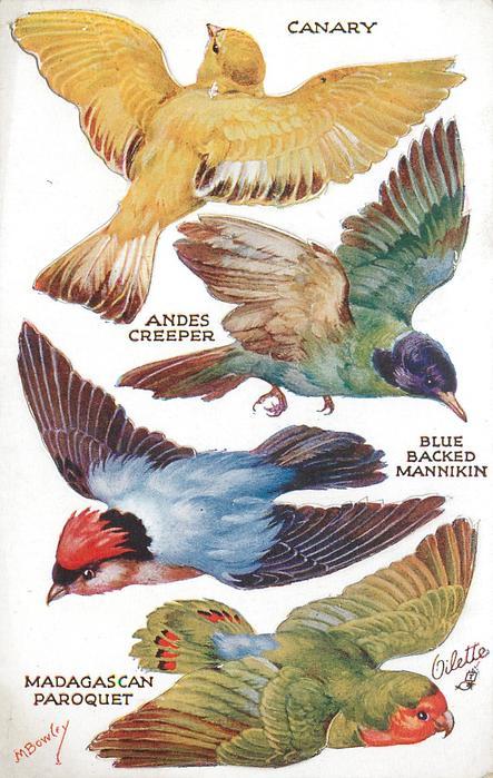 CANARY, ANDES CREEPER, BLUE BACKED MANNIKIN, MADAGASCAN PAROQUET