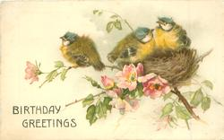 BIRTHDAY GREETINGS  three blue-tit chicks in nest in wild-rose bush
